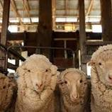 """海外购房资金已""""到位"""" 限购的澳洲要开始剪羊毛了?"""