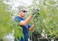 卖事实!加拿大绿灯正式点亮  大麻股疯涨后大跌!