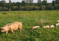 不稳定的猪周期:猪价跌回8年前,一头猪亏300元